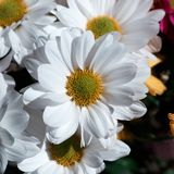 Diverses fleurs de hrysanthemums de  de Ñ sur le backgroun noir photo stock