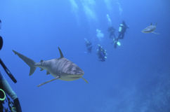 Diversharks. Divers and reef sharks Stock Images