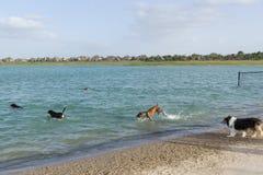 Diversión canina acuática en una playa del parque del perro Foto de archivo
