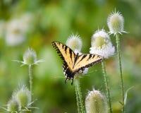 Diversión de la mariposa Fotos de archivo