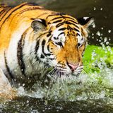 Diversión de la nadada de los tigres de Bengala fotos de archivo