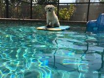 Diversión del perro en la piscina Imagen de archivo