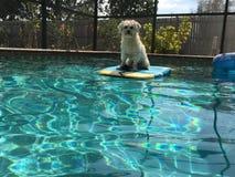 Diversión del perro en la piscina Imagenes de archivo