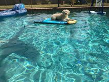 Diversión del perro en la piscina Fotografía de archivo