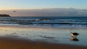 Diversión sin correa del perrito de la madrugada en la playa Fotos de archivo