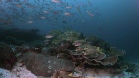 Diversidad de los pescados en Raja Ampat Indonesia 4k metrajes