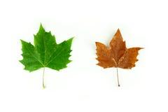 A diversidade do verão e da queda: Duas folhas da árvore do sicômoro em verde e em alaranjado Imagens de Stock Royalty Free