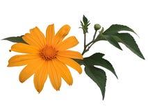 Diversifolia мексиканского солнцецвета или tithonia с лист стоковые изображения rf
