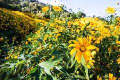 Diversifolia de Tithonia d'or complètement de belles montagnes comme fond image stock