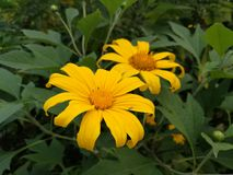 Diversifolia de Tithonia de tournesol mexicain Image stock