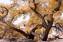 Diversifolia del Populus Fotografia Stock Libera da Diritti