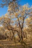 Diversifolia Populus in autumn Royalty Free Stock Images