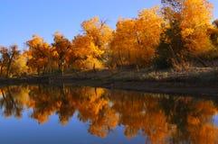 Diversifolia Populus trees near the lake Royalty Free Stock Photo
