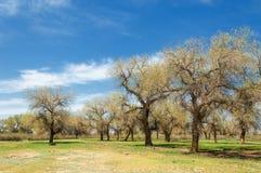 Diversifolia Schrenk, Populus euphratica, Eufrat topola, po Fotografia Royalty Free