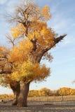 diversifolious白杨树 库存照片