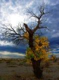 Diversifolious poplar Stock Photo