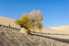 The diversifolious poplar tree in the desert Royalty Free Stock Image
