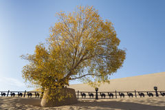 The diversifolious poplar tree in the desert Stock Photography