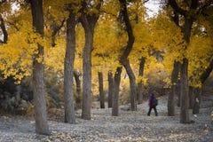 Diversifolious poplar trees Stock Image