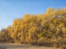 Diversifolious Poplars in autumn Stock Image