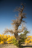Diversifolious poplartrees Arkivfoto