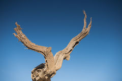 Diversifolious poplartrees Royaltyfria Bilder