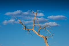 Diversifolious poplartrees Fotografering för Bildbyråer