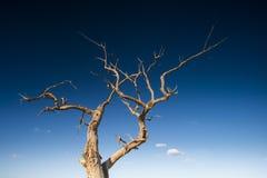 Diversifolious poplartrees Arkivfoton