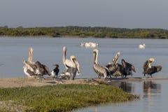 Diversité de l'oiseau marin pendant la saison de migration au Mexique Images libres de droits