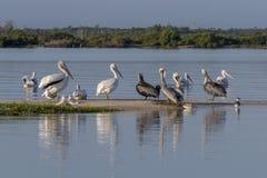 Diversité de l'oiseau marin pendant la saison de migration au Mexique Photos stock