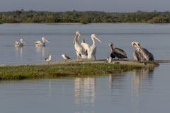 Diversité de l'oiseau marin pendant la saison de migration au Mexique Photo libre de droits