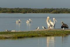 Diversité de l'oiseau marin pendant la saison de migration au Mexique Photographie stock