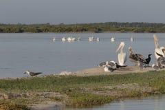 Diversité de l'oiseau marin pendant la saison de migration au Mexique Photos libres de droits