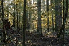 Diversité des arbres dans une forêt de vieil accroissement Photographie stock libre de droits