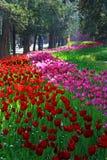 Diversité des tulipes Photo stock