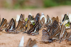 Diversity of butterfly species Stock Photography