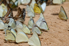 Diversity of butterfly species Stock Images