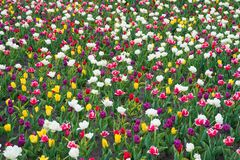Free Diversity Concept. Natural Beauty. Springtime Background. Multicolored Flowers. Tulip Fields Colourful Burst Into Full Royalty Free Stock Photo - 185961635