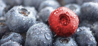 Diversity. Fresh wet blueberries and one red berry in background Royalty Free Stock Images