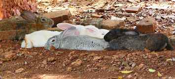 Diversity - Multiple Colored Rabbits including White, Grey, Brown and Black Rabbits. This is a photograph of white, grey, black and brown rabbits lying together Stock Photography