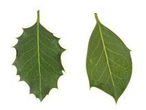 Diversity in nature. Holly leaves, prickly and smooth. Royalty Free Stock Photo