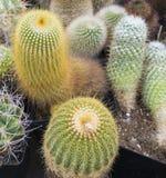 Diverso cactus Foto de archivo libre de regalías