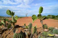 Diverso cactus mecanografía el primer en el terreno anaranjado brillante del desierto de Tataccoa Foto de archivo