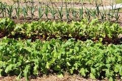 Diverso crecimiento de verduras en el huerto Fotos de archivo libres de regalías
