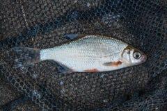 Diverso o ablet ou os peixes, a barata e a brema desolados pescam no natural Fotos de Stock