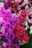 Diverso rododendro - floreciendo Imágenes de archivo libres de regalías