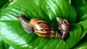 Diverso tamaño dos de los caracoles marrones de la cáscara de la raya que suben en la hoja verde vibrante almacen de video