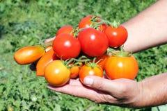 Diverso tomate em uma mão do fazendeiro Imagens de Stock Royalty Free