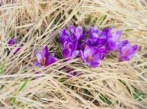 Diverso vernus do açafrão contra o contexto da grama seca Fotografia de Stock Royalty Free
