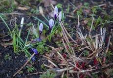 Diversos açafrões ainda não abertos na primavera Imagens de Stock Royalty Free